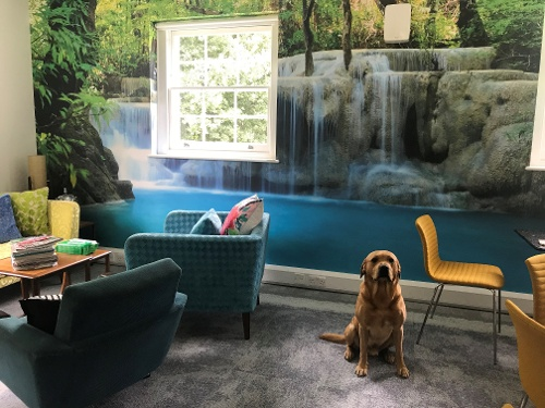 Labrador Cody sits patiently by waterfall backdrop in office 500 x 375